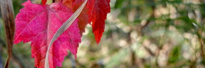 Minesota leaves-banner