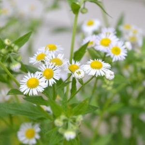 wabi-sabi-daisies